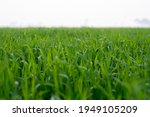 young wheat plants growing on...   Shutterstock . vector #1949105209