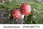 A Pair Of Poisonous Toadstools.