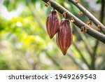 Cacao Tree With Cacao Pods In A ...