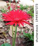 Red Gerbera Jamesonii Flower...