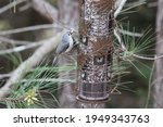 Tufted Titmouse With Birdseed...