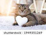 Brown Scottish Fold Cat With...