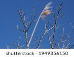 Bare Branches With Marsh Plant  ...
