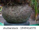Agapanthus Roots Splitting Pots ...