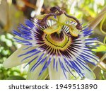 Beautiful Passion Fruit In The...