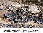 Close Up Of Black Mushrooms On...
