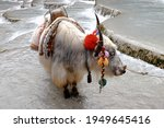 A Local's Cow In Lijang  Yunnan ...