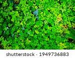 Irish Shamrock and Ivy Background