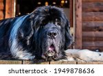 Small photo of Close Up Front View Of Black And White Landseer Newfoundland Breed Dog Lying Down With Goofy Face and droopy jowls.