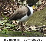 Masked Lapwing Standing On One...