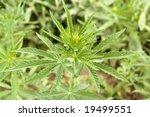 hemp | Shutterstock . vector #19499551