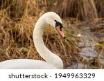 White  Mature Mute Swan  Cygnus ...