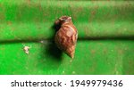 A Snail Crawling On A Green...