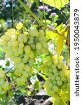Growing Table Grape  A Close Up ...