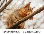 Sciurus. Rodent. A Squirrel...