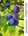 A Few Ripe Plums On A Branch In ...