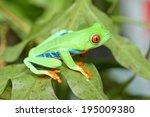 Red Eyed Tree Frog Crawling...