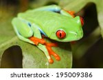 Red Eyed Tree Frog Crawling...
