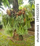 Staghorn Fern Or Tanduk Rusa Or ...
