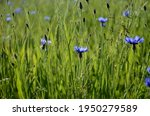 Green Wheat Field And Group Of...