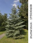 Small photo of Abies concolor, Colorado white fir