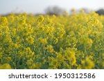 yellow field of flowering rape... | Shutterstock . vector #1950312586