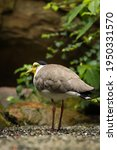 Leaving A Masked Lapwing...