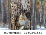 A Squirrel Eats A Nut On A...