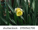 A Blooming White Daffodil With...