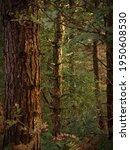 Sunlit Pines In Dense Forest