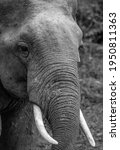 Small photo of Asian tusker face in black and white