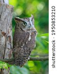 Screech Owl On Branch With Tree ...