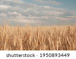 Golden Wheat Field And Sunny...