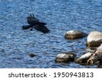 Raven Flying Over The Lake With ...