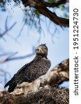 Martial Eagle At Its Nest In A...
