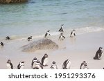 South African Penguins Walking...