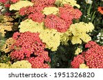 Achillea Blooms On The...