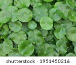 Centella Asiatica Is An Herb To ...