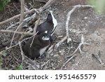 Penguins In Boulders Beach In...