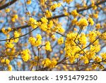 blooming dogwood  branches of...   Shutterstock . vector #1951479250
