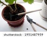 transplanting indoor flowers on ...   Shutterstock . vector #1951487959