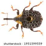Weevil Cionus Tuberculosus  Is...