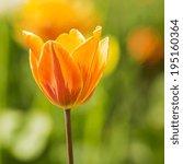 Orange Tulip Flower Close Up I...