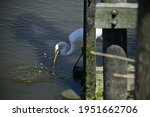Great White Egret Fishing And...