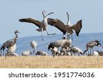 Crane Bird Dance At Lake...