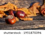 Chestnuts In Focus  On The...