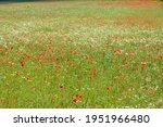 Lots Of Red Poppy Flowers   ...