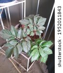 Small photo of Young leaves and old leaves are exposed to dust, so they are unsightly ...