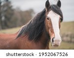 Large Brown Female Clydesdale...