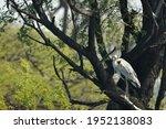 Grey Heron Or Ardea Cinerea On...